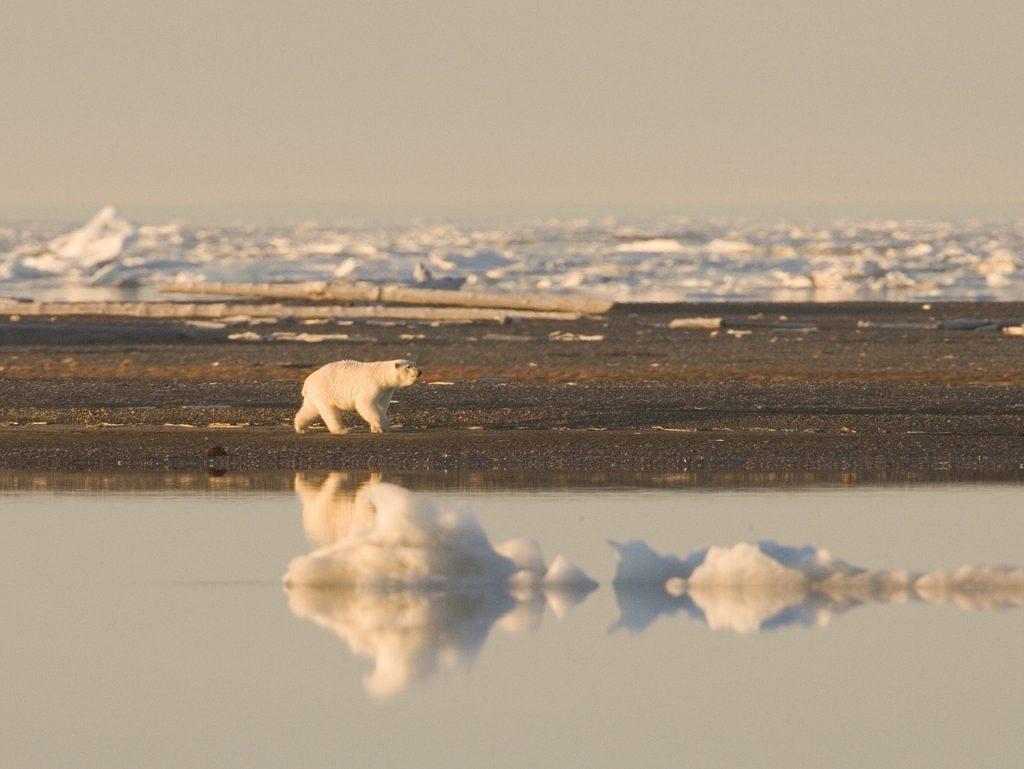 întâlni urși polari