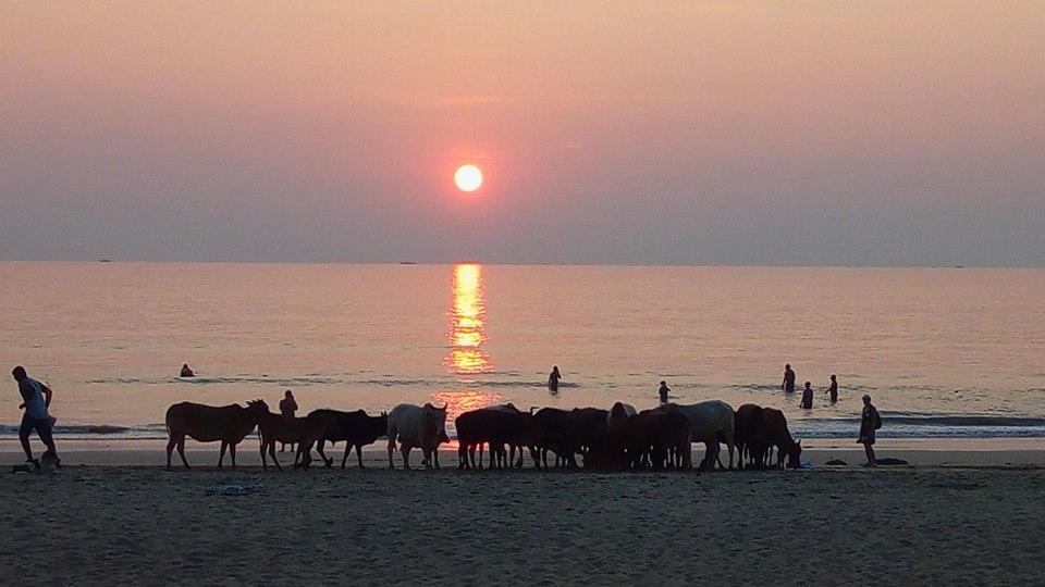 Celebrele vaci din India, ieșite la plajă. Foto: Florin Slabu, Hitch Earth