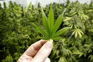 Marijuana. Sursă: Medical News Today