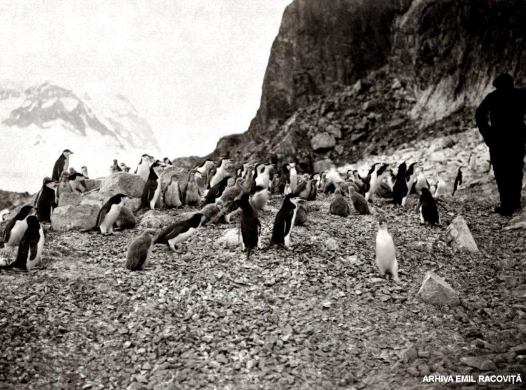Pinguini antarctici vizitați de un explorator   Arhiva Emil Racoviță, Foto: F. Cook, via emil-racovita.speosub