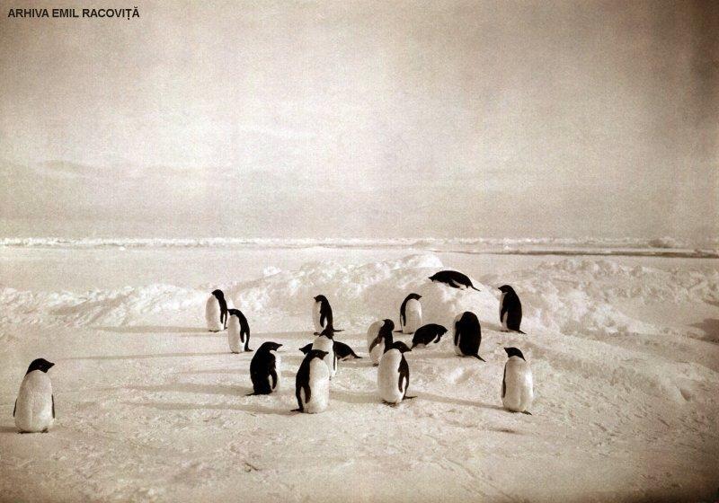Grup de pinguini din Ţara Adélie | Arhiva: Emil Racoviță, Sursa: emil-racovita.speosub