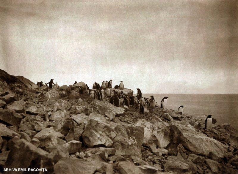 Colonie de pinguini papuani stabilită pe un țărm stâncos | Arhiva: Emil Racoviță, Sursa: emil-racovita.speosub