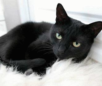 Pisica neagră. Sursă: Zooland