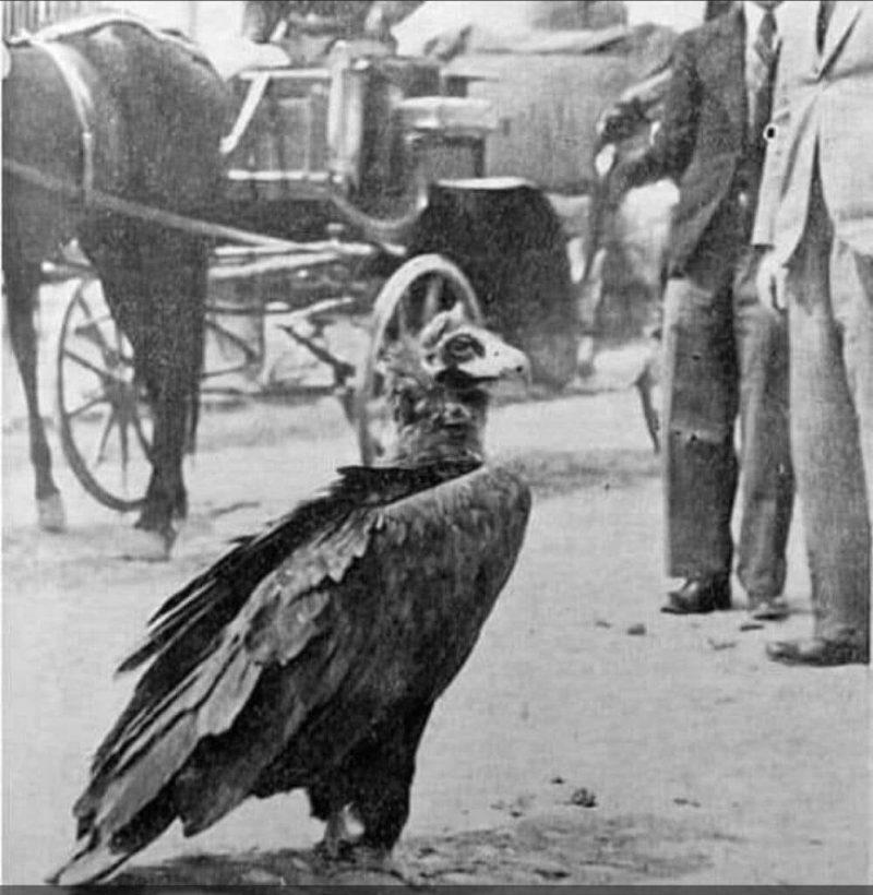 În imagine, Vulturul Ilie – Fotografie de Iosif Berman publicată în Cuvântul Liber, nr. 29, 19 mai 1934.
